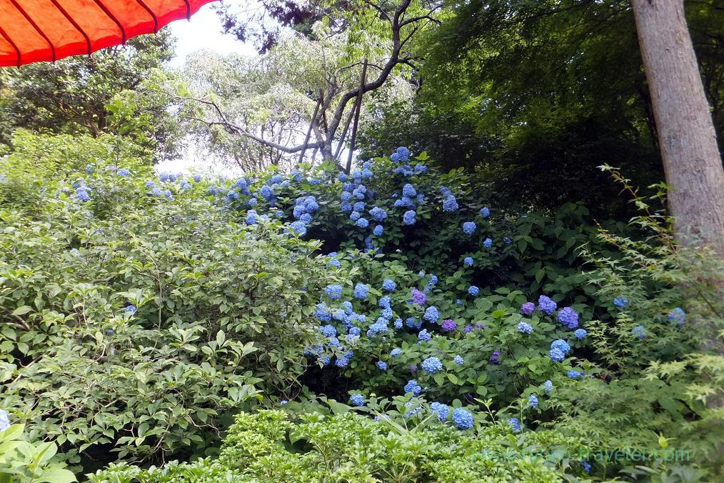 Hydrangeas could be seen from the tearoom, Meigetsuin temple, Kita Kamakura (Kamakura Hydrangea 2016)