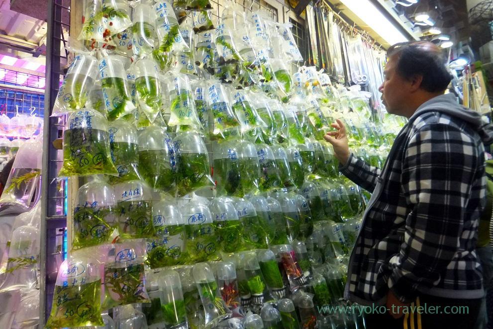 Gold fish 1, Goldfish market ,Mong kok (Hongkong 201602)
