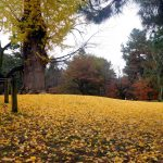 Kyoto : Autumn leaves in Kyoto Imperial Park (京都御所)