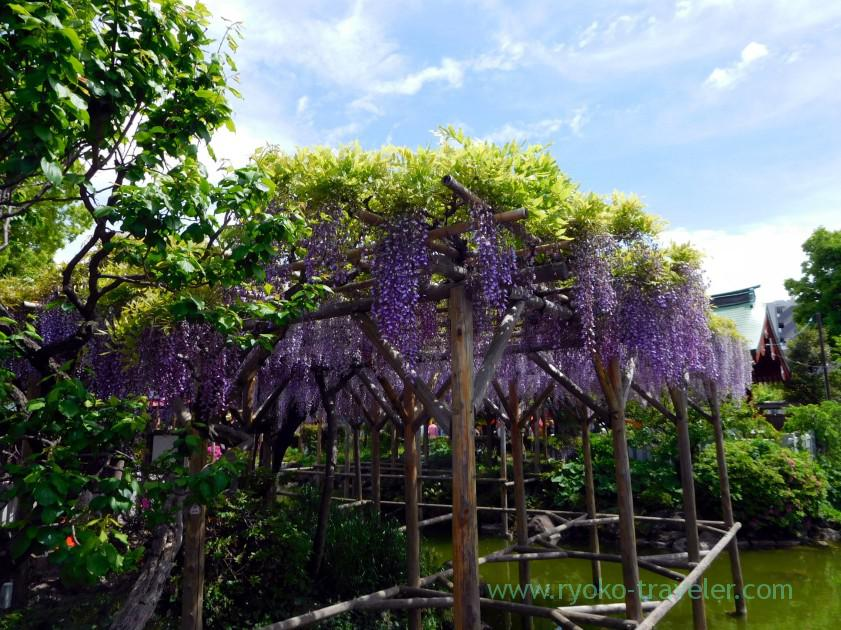 Beautiful wisteria, Kameido Tenmangu shrine (Kameido)