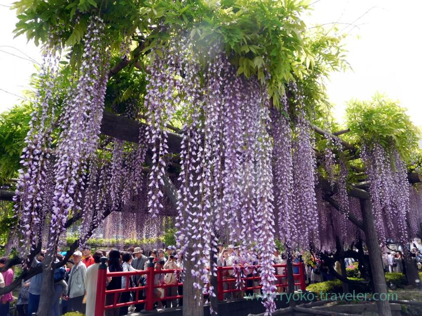 Long wisteria, Kameido Tenmangu shrine (Kameido)