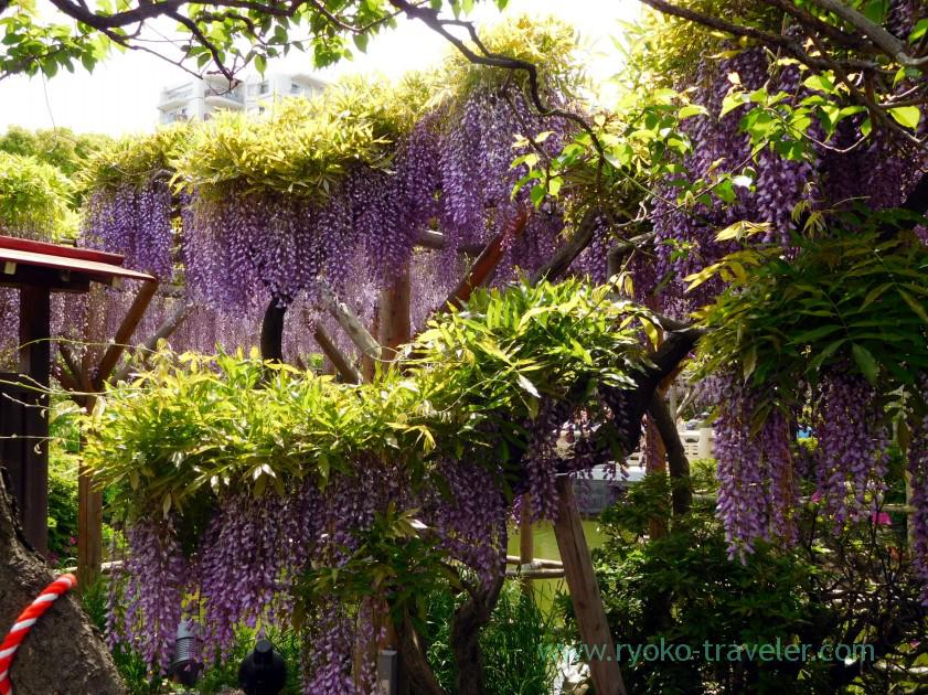 More wisteria, Kameido Tenmangu shrine (Kameido)