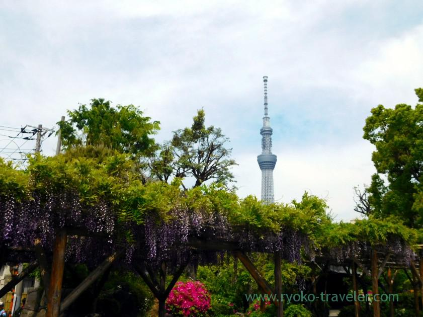 Skytree and wisteria, Kameido Tenmangu shrine (Kameido)