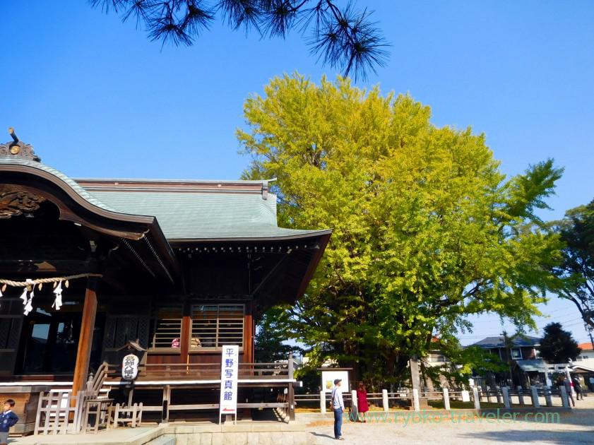 Worship hall and huge tree, Katsushika Hachimangu shrine (Motoyawata)
