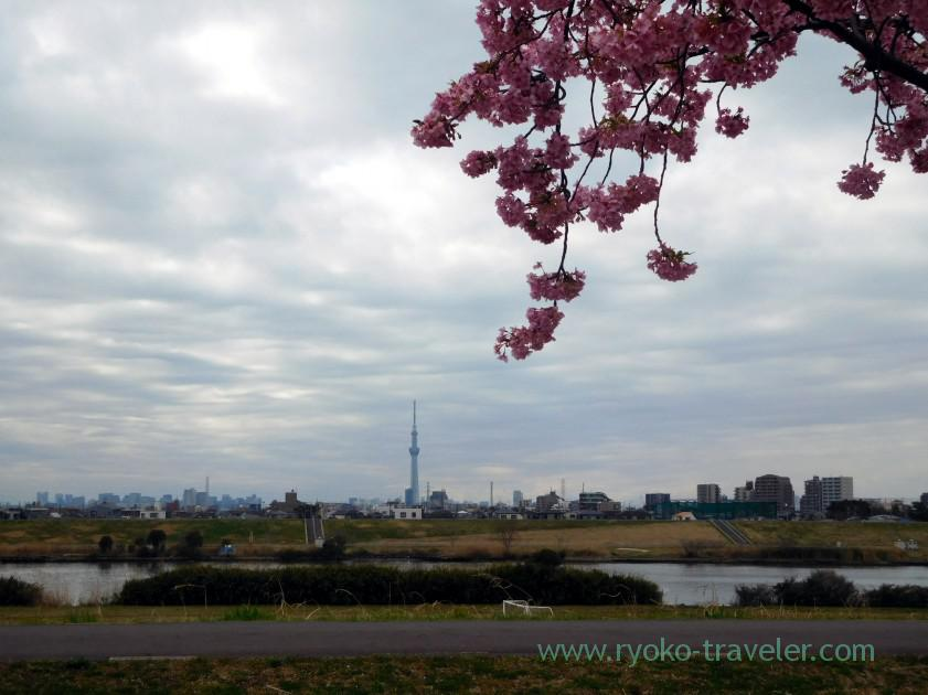 Kawazu zakura1, Edogawa river (Ichikawa)