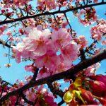 Ichikawa : Kawazu Zakura in full bloom